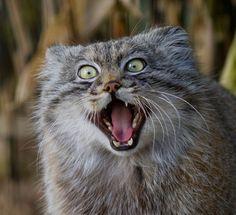 魅力満載!表情豊かなマヌルネコの愛くるキュートにズームイン! : カラパイア