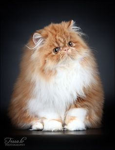 Persian Kitten.. how puffy is that? - Spoil your kitty at www.coolcattreehouse.com #PersianCat