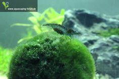Gerade im Aquarium entdeckt: hochträchtige blaue Tigergarnele #aquascaping #aquarium