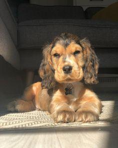 Cockerspaniel, Enjoy The Sunshine, Dog Mom, Future, Happy, Dogs, Animals, Instagram, Future Tense