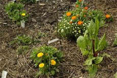 Companion vegetable plants are plants that can help each other when planted near each other.    Creating a companion vegetable garden will allow you to take advantage of these useful and beneficial relationships.