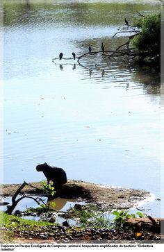 """Capivara no Parque Ecológico de Campinas: animal é hospedeiro amplificador da bactéria """"Rickettsia rickettsii"""""""