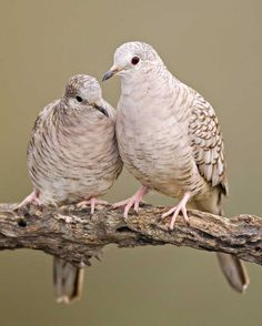 Inca Doves can be found at Pancho Villa State Park, which is part of the SW NM Birding Trail