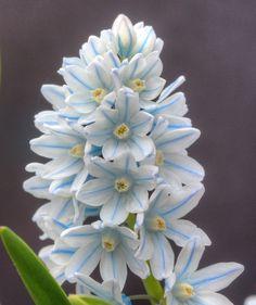 Hübsche weiß-blaue Blüten mit einem hellen Gelb in der Mitte: Puschkinia libanotica - Pfalnzzeit ist der Herbst (als Blumenzwiebel)
