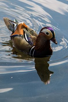 Beautiful Mallard Duck