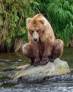 Brown Bear patiently waiting for coho salmon. In North America, coastal brown bears (Ursus arctos gyas) with access to marine food resources like salmon are generally larger than grizzlies, a brown bear subspecies that lives inland. Love Bear, Big Bear, Funny Animals, Cute Animals, Animals And Pets, Wild Animals, Baby Animals, Ours Grizzly, Grizzly Bears