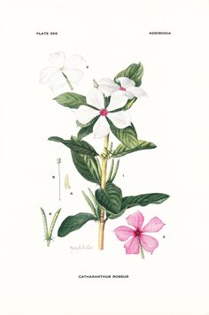 1926 Botany Print - Catharanthus Roseus - Madagascar Periwinkle - Vintage Antique Flower Art Illustration