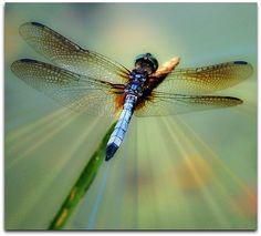 ♈ Dragonfly Versailles ♈ dragonflies in art, photography, jewelry, crafts, home & garden decor - dragonfly photograph