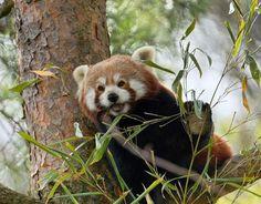 #panda #nationalgeographic #enjoy #photography #zurich # #switzerland #zoo #bamboo #redpanda #pictureoftheday #photooftheday #nature ##fujixt2 #fuji #fujifilm #fujilove #xt2 #xf100400mm #fujifilm_xseries #fujifilm_ch via Fujifilm on Instagram - #photographer #photography #photo #instapic #instagram #photofreak #photolover #nikon #canon #leica #hasselblad #polaroid #shutterbug #camera #dslr #visualarts #inspiration #artistic #creative #creativity