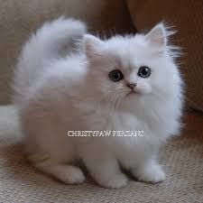 Persian Silver Doll Face Teacup Chinchilla Google Search In 2020 Kittens Doll Face Chinchilla
