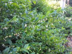 Sweet Box/ Sarcococca ruscifolia'  hedge in front between 2 properties