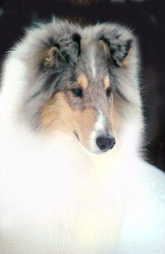 this white collie boy is denim glasgowhill silverado collie picture 12