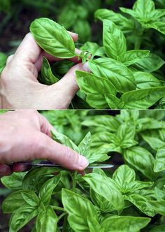 Alternative Gardning: How to grow basil Plant basil near tomato and lettuce. Herb Garden, Vegetable Garden, Garden Plants, Container Gardening, Gardening Tips, Hippie Garden, Basil Plant, My Secret Garden, Growing Herbs