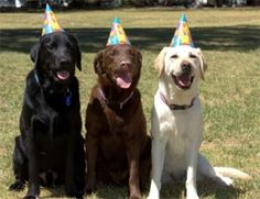 Labradors -- not mine, but representative of (left to right) Sophie, Truffle, and Henry.  These guys are stand-ins... mine would NEVER sit still for this!
