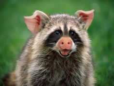 Aw! I just LOVE little baby Pigcoons!