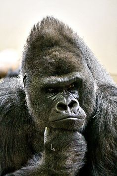 Gorilla - Hmm these people in the glass box are boring today (Colorado Zoo)