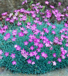 "'Fire Witch' Dianthus, zones 5-9, full sun, well-drained soil, 6"" tall & 18"" wide, fragrant pink flowers early spring but after you shear faded flowers off the silvery-blue foliage takes center stage."