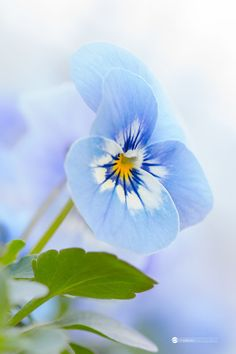 light blue viola by Anneliese Photography Via Flickr: