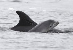 Baby dolphin in the Moray Firth
