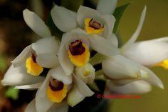 Geodorum pulchellum