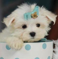 Teacup Maltese puppies for Sale Florida Teacup Maltese For Sale, Maltese Puppies For Sale, Teacup Puppies For Sale, Dogs For Sale, Maltese Dogs, Cute Puppies, Cute Dogs, Puppy Store, Cute Puppy Pictures