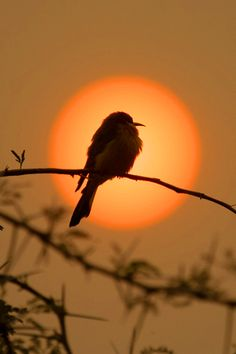 Little Bee-eater in smoky sunset