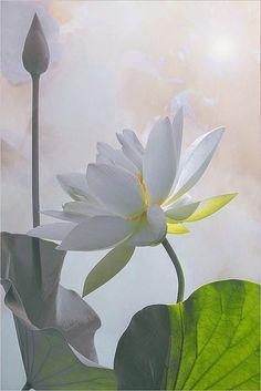 Lotus Flower Surreal Series: DD0A9853-1000 by Bahman Farzad on Flickr..