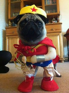 the Wonder pug! Wonder Pug, our future is in your.Wonder Pug, our future is in your. Funny Dogs, Cute Dogs, Funny Animals, Cute Animals, Cute Dog Costumes, Pugs In Costume, Baby Pug Dog, Teacup Pug, Pet Mice