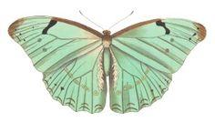 Morpho laertes green Butterfly - Curious Clipart - Vintage Clip Art
