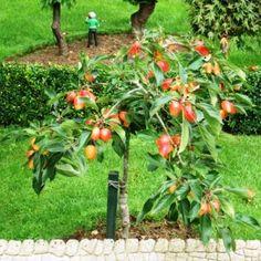 Четыре способа вырастить миниатюрные фруктовые деревья