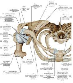 Human Anatomy Drawing, Human Figure Drawing, Human Anatomy And Physiology, Anatomy Study, Anatomy Art, Anatomy Reference, Anatomy Bones, Body Anatomy, Shoulder Muscle Anatomy