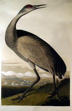 John James Audubon - Hooping Crane