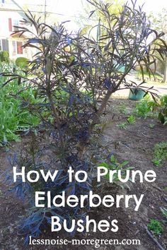 Less Noise, More Green: Pruning Black Lace Elderberry Bushes - gardening - Health Idea Bush Garden, Garden Shrubs, Diy Garden, Fruit Garden, Garden Care, Shade Garden, Dream Garden, Tropical Garden, Garden Beds