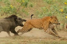 Leopard hunting a wild boar, and vice versa.