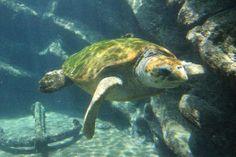 uShaka Marine World Turtles, Ocean, World, Photography, Animals, Tortoises, Photograph, Animales, Turtle