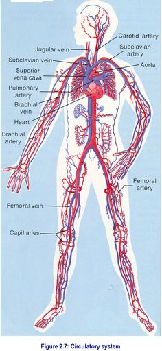 Blood Anatomy and Physiology