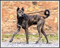 Cretan Hound dogs - Pets Cute and Docile