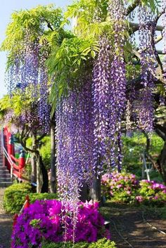 Wisteria at Kameidoten-jinja, Tokyo, Japan. Apparently they embrace the wisteria in Japan. Dame Nature, Plantation, Ikebana, Dream Garden, Horticulture, Beautiful Gardens, Garden Landscaping, Outdoor Gardens, Planting Flowers
