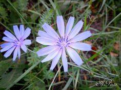 Fiori lilla