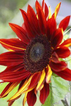 Multi coloured sunflower. Kotivinkki 14/2013 Story Henrika Arle Photo: Hanna Marttinen