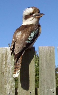 Kookaburra sits in the old oak tree, laughing and singing so merrily...
