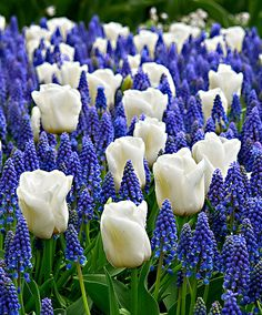 Blue Ocean mix - tulpen + blauwe druifjes   Bloembollen   Bakker Hillegom