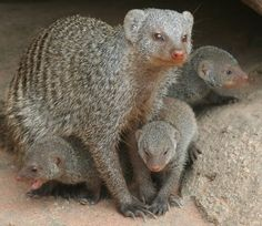 Banded Mongoose with cubs