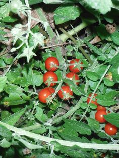 Everglades Tomatoes- video how tomato went out the border