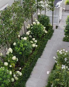 Ornamental pleached pears, white Hydrangea Limelight