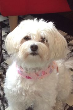 groomed havanese pictures - Google Search