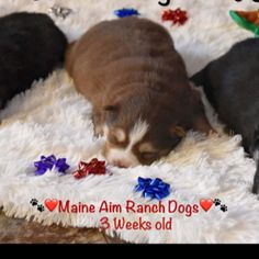 HO,HO,HOPomsky puppies for sale...Check out these little beauties they born 10/30/17. Maine Aim Ranch Pomskies. We are located in Southern Iowa. Please feel free to contact me with any questions.#pictureoftheday #pomski #pomsky #pomskies #pomskydog #pomskylife #pomskypuppy #pomskypup #maineaimranch #maineaimranchpomskies #maineaimranchdogs #cutepets #cutepuppies #cutenessoverload #cutedog #puppies #puppiesofinstagram #puppiesofig #puppy #puppiesforsale #puppyforsale #puppyforchristmas