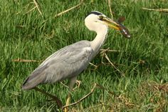Grey Heron wading bird short description along with HD wallpaper and background images from bird animal nature wildlife gallery collection Mukesh Garg