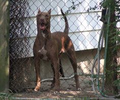 doberman mix | Doberman-Pitbull Mix | Flickr - Photo Sharing!