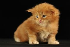 http://ambientcat.com/maine-coon-kittens.shtml